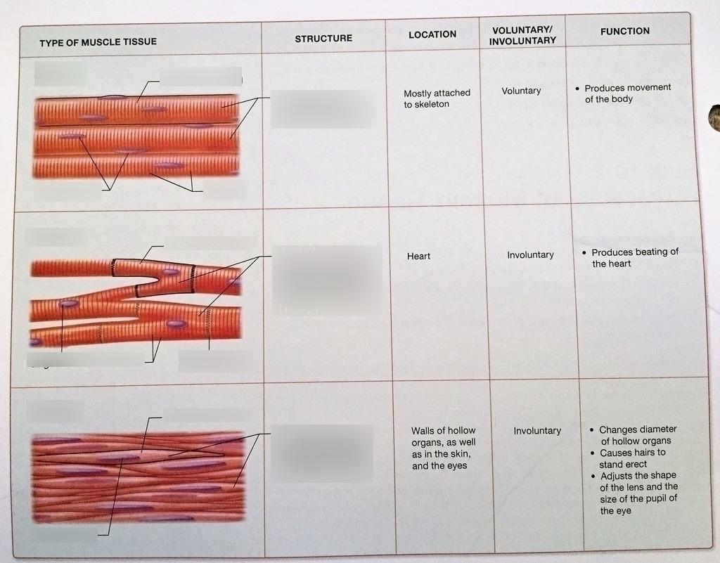Muscle Tissue Diagram | Quizlet