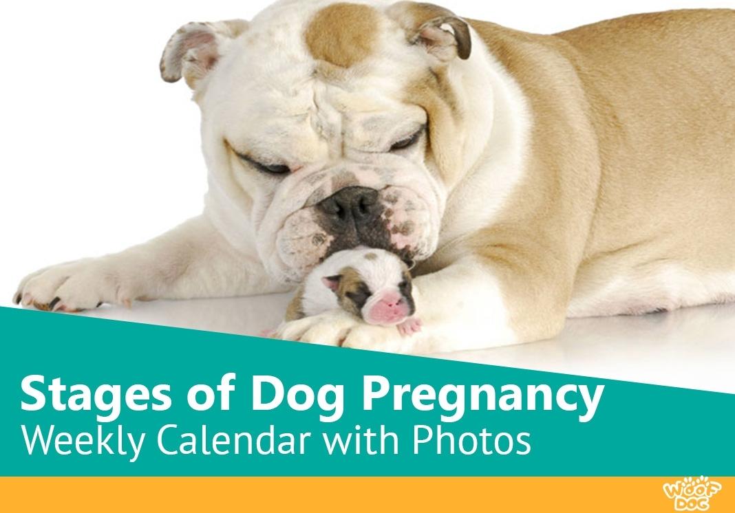 Stages Of Dog Pregnancy - Weekweek With Photos